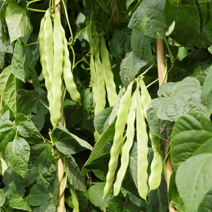 Climbing French Bean Algarve Seeds  Dobies