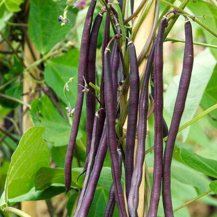 Climbing French Bean Seed  Carminat  Dobies