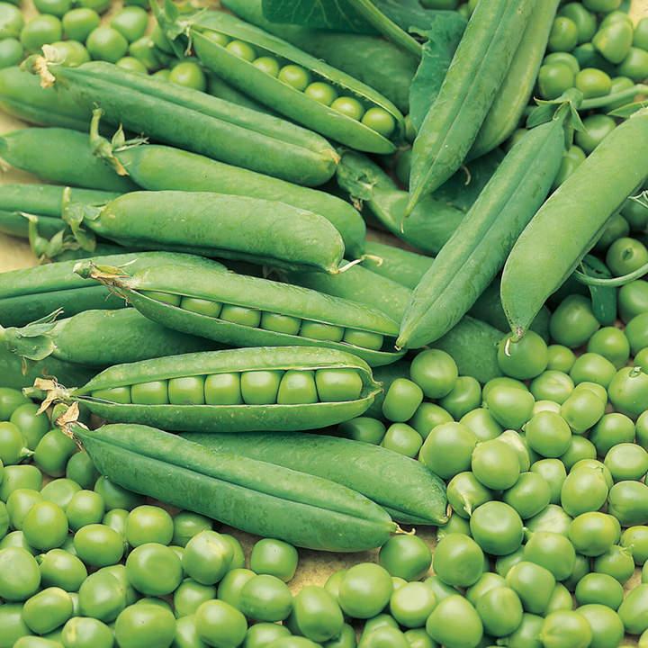 Pea Early Onward Seeds - Dobies