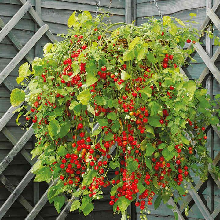Tomato Hundreds and Thousands Seeds - Dobies