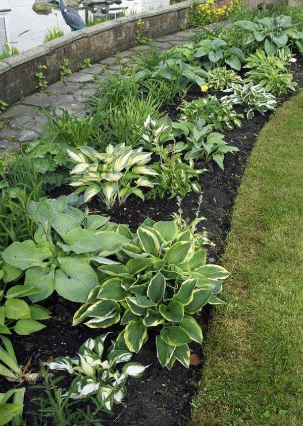 growing hostas favorite shade