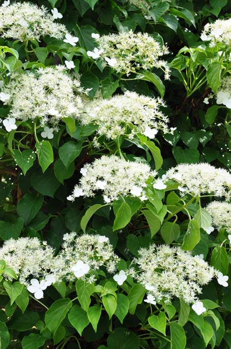 Best Flowering Vines For The Northern Us  Gardener's Path