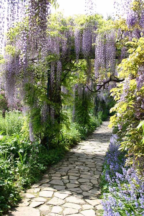 Wisteria Falls Wallpaper How To Grow Flowering Vines In Your Yard Gardener S Path