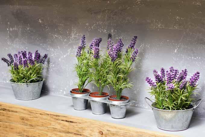How To Grow Lavender In Every Climate Gardener S Path