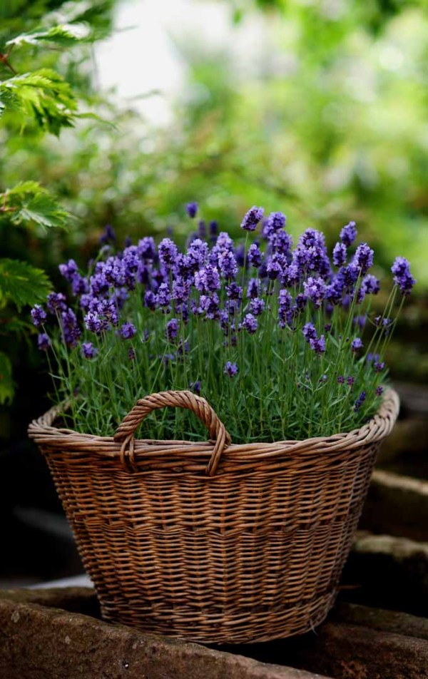 grow lavender in climate