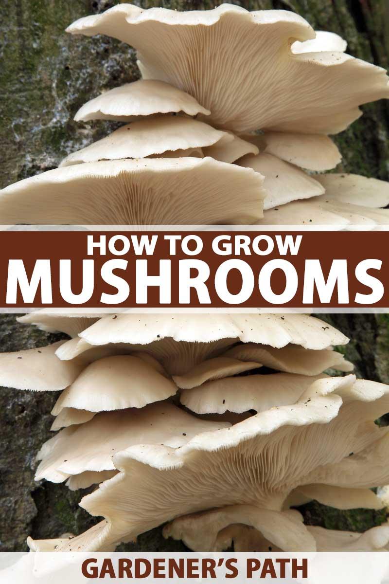 hight resolution of oyster mushrooms om trunk of beech tree