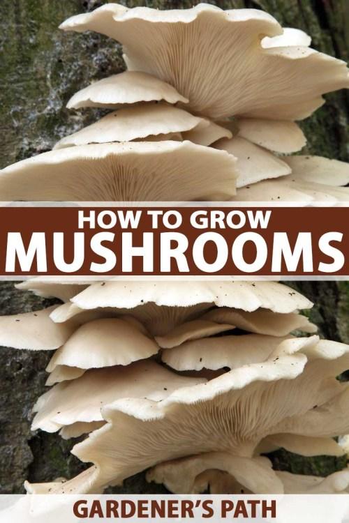 small resolution of oyster mushrooms om trunk of beech tree