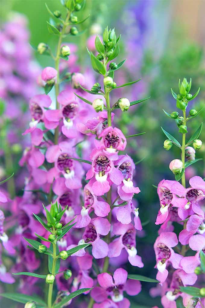 Grow Summer Snapdragon Angelonia Angustifolia Gardener