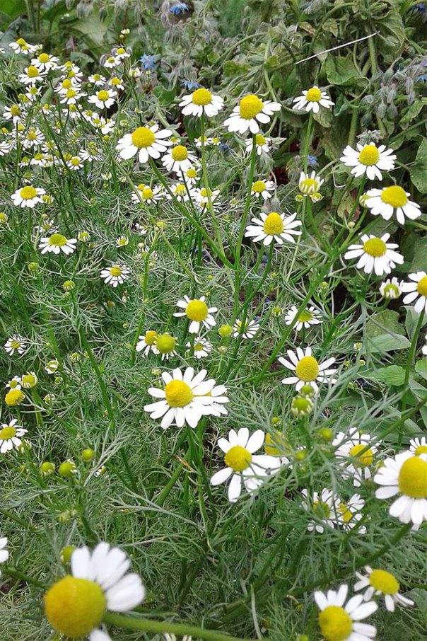 Image result for chamomile flower