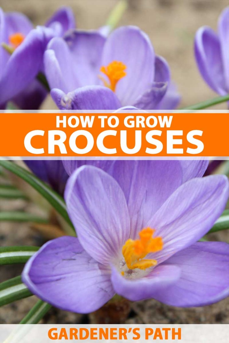 How to Grow and Care for Crocus Flowers | Gardener's Path