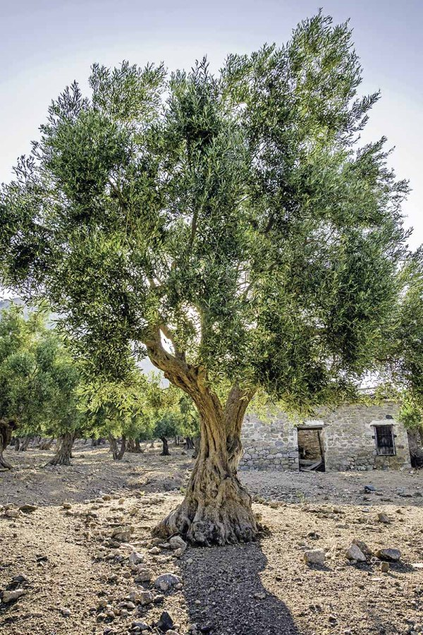 learn grow olive trees