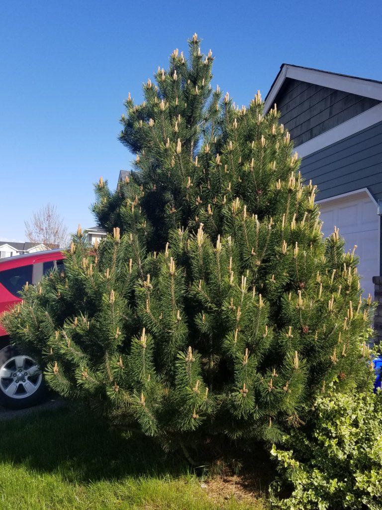 the best pine fir