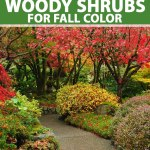 Best 15 Woody Shrubs For Fall Color Make Your Autumn Landscape Pop
