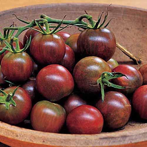 A close up of a wooden bowl containing deep red fruit from the 'Black Pearl' tomato cultivar. Some have the vines still attached.