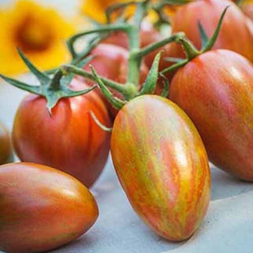 A close up of 'Shimmer' tomatoes, light reddish yellow colored, still attached to the vine, on a gray surface.