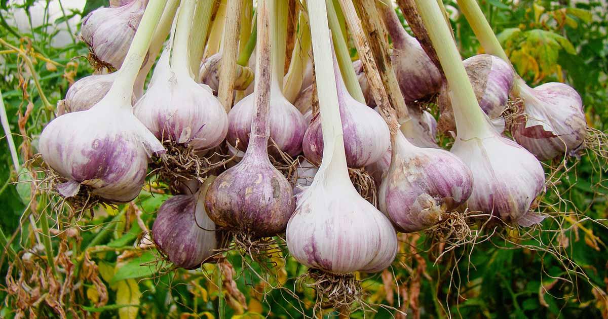 How to Grow Garlic FB Image