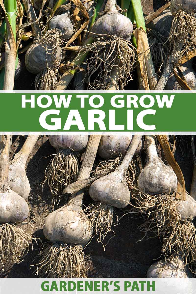 How To Plant And Grow Garlic Gardener S Path