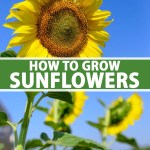 How To Grow Sunflowers At Home Gardener S Path