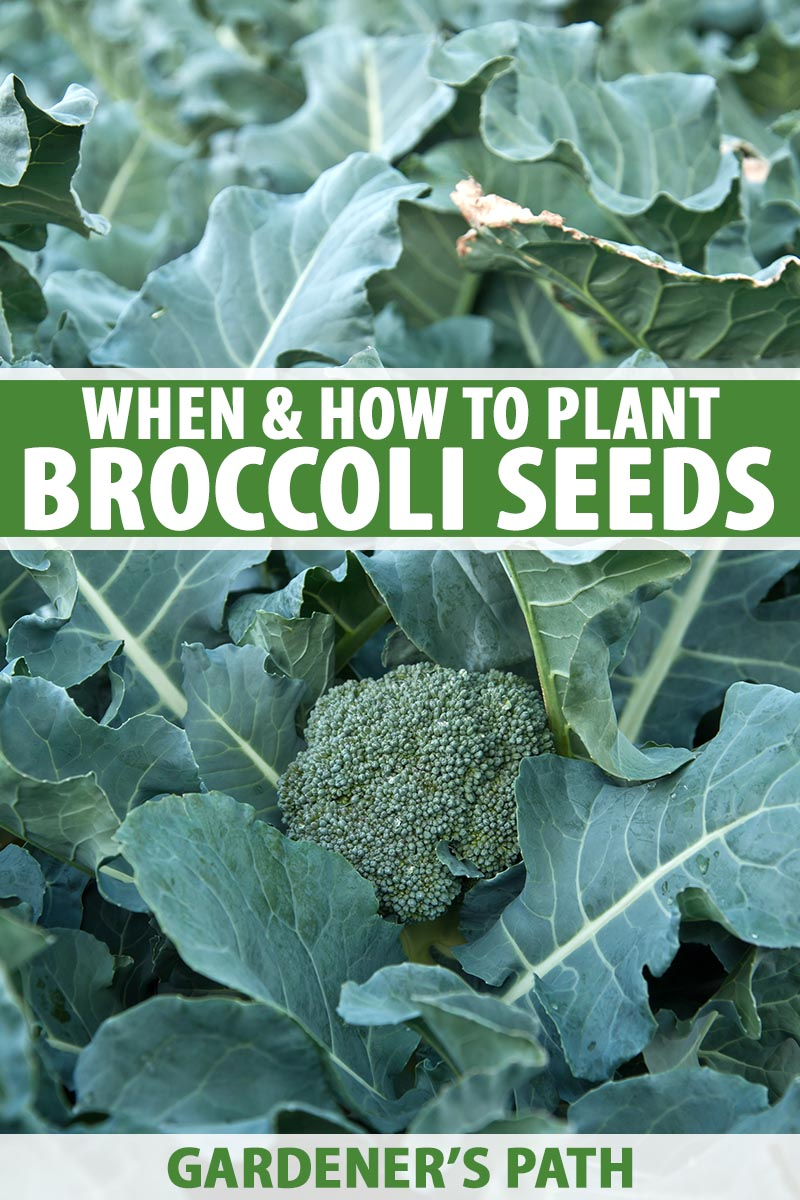 How To Start Broccoli From Seed Gardener S Path