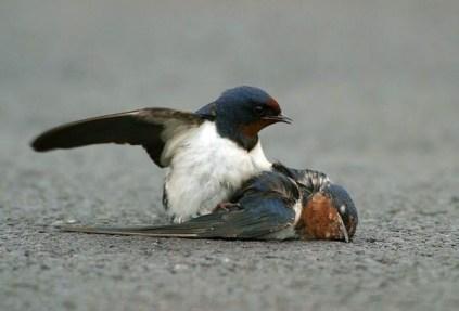 sparrow iv