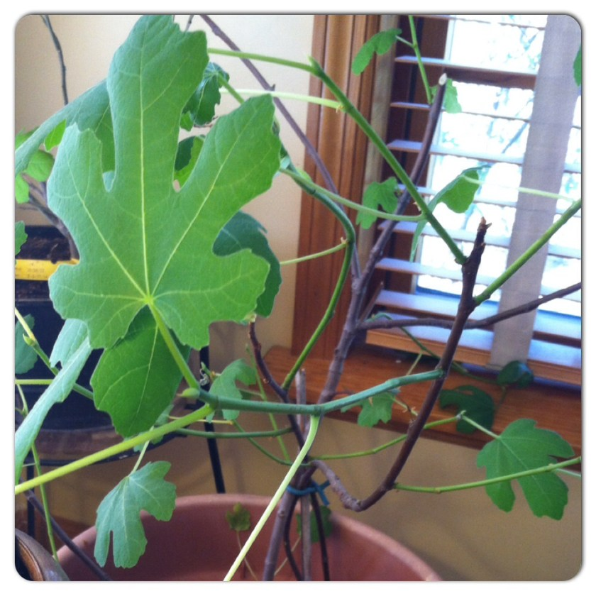barren fig