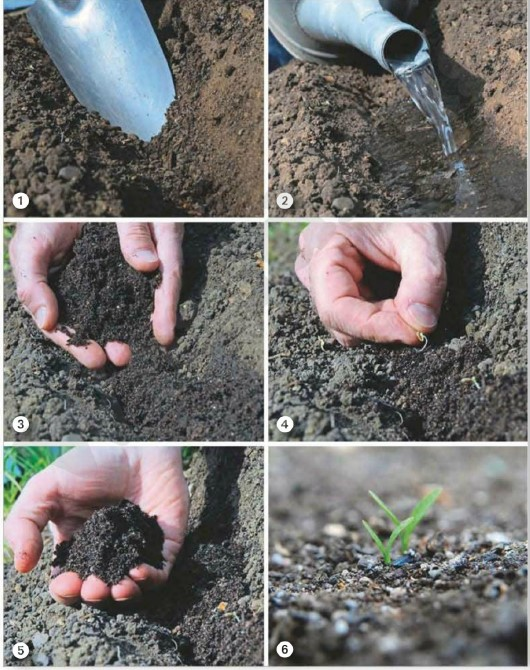 sowing and growing parsnips