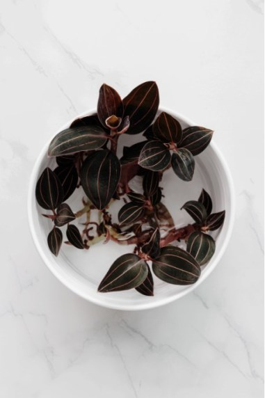 Jewel Orchid - Ludisia