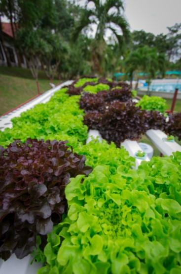 Bibb Lettuce Hydroponic