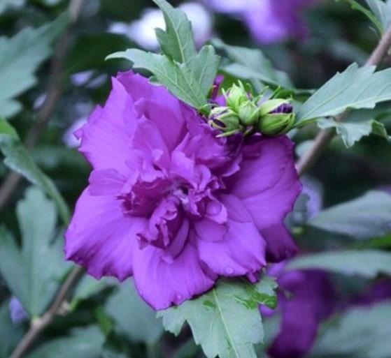 Blueberry Smoothie Hibiscus