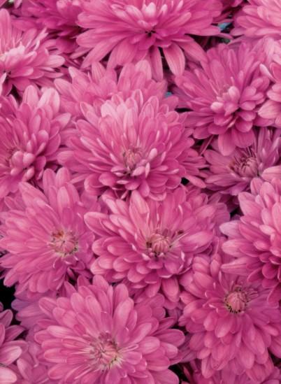 Chrysanthemum blooms