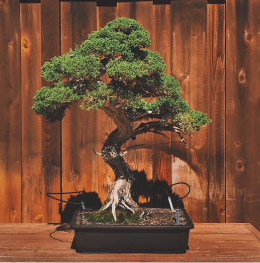 Bonsai Juniper