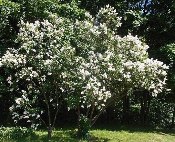 Syringa vulgaris Mme. Lemoine