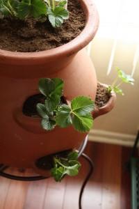 Indoor Strawberries (Photo Credit ccharmon at Flickr.com)