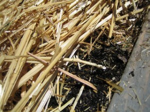 No-Till Garden, with straw mulch by stellar678