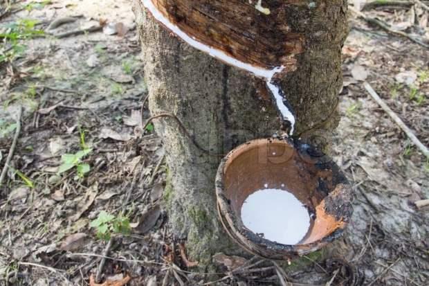 hevea brasiliensis tree