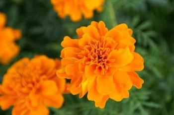 marigoldsA-2db86