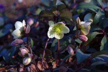 Christmasrose (3)