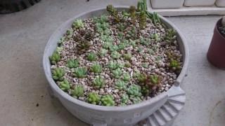 秋に葉挿しした多肉植物の寄せ植え