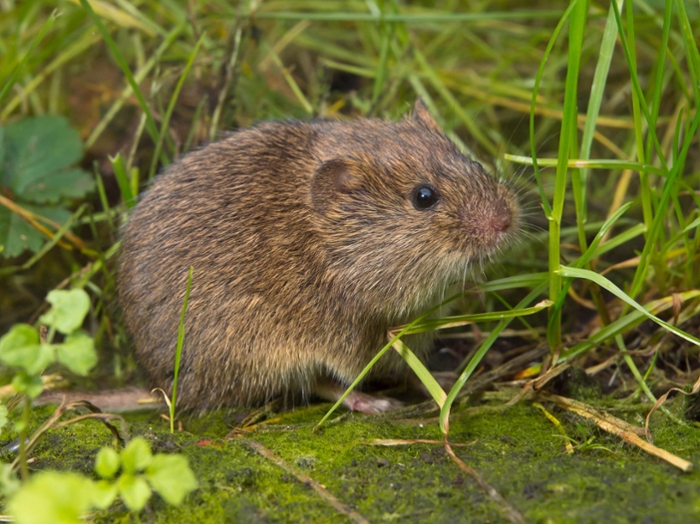 Mice and Voles - Gardening - College of Agriculture and ...
