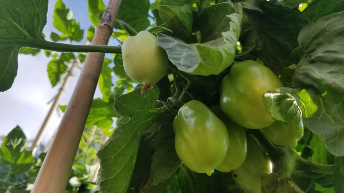 3 Reasons Your Tomatoes Won't Ripen