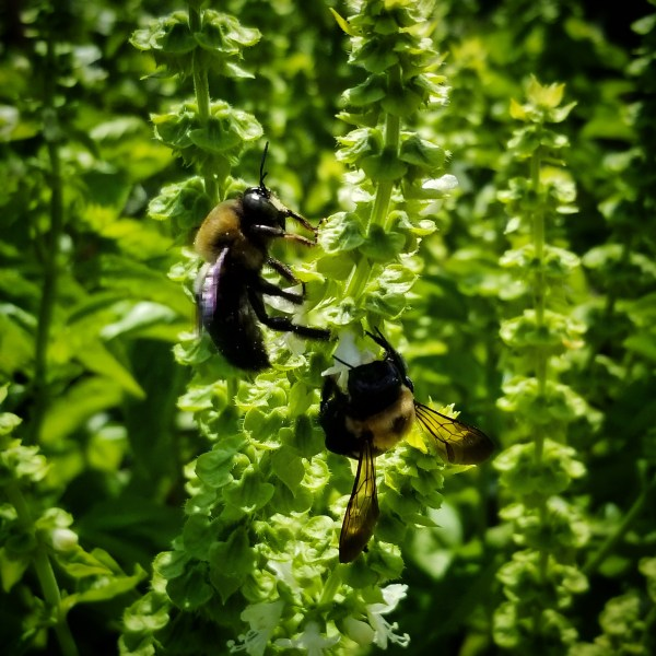 Bumblebees on Basil