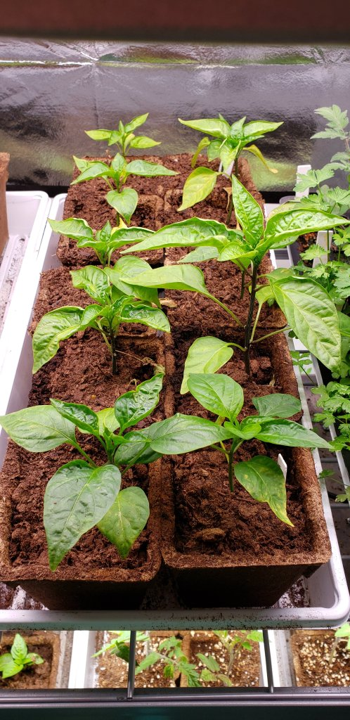 Pepper plants in CowPots