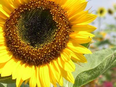Fall Sunflowers Wallpaper Harvesting Roasting Sunflower Seeds Gardening After Five