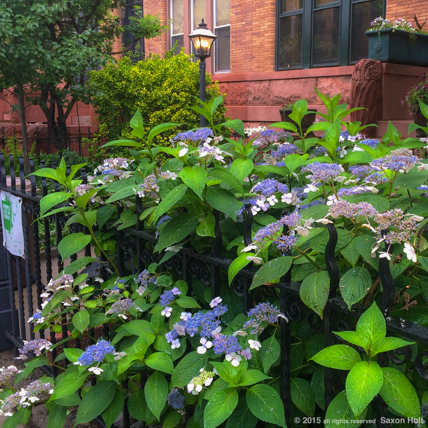 hydrangea - Greenest block in Brooklyn
