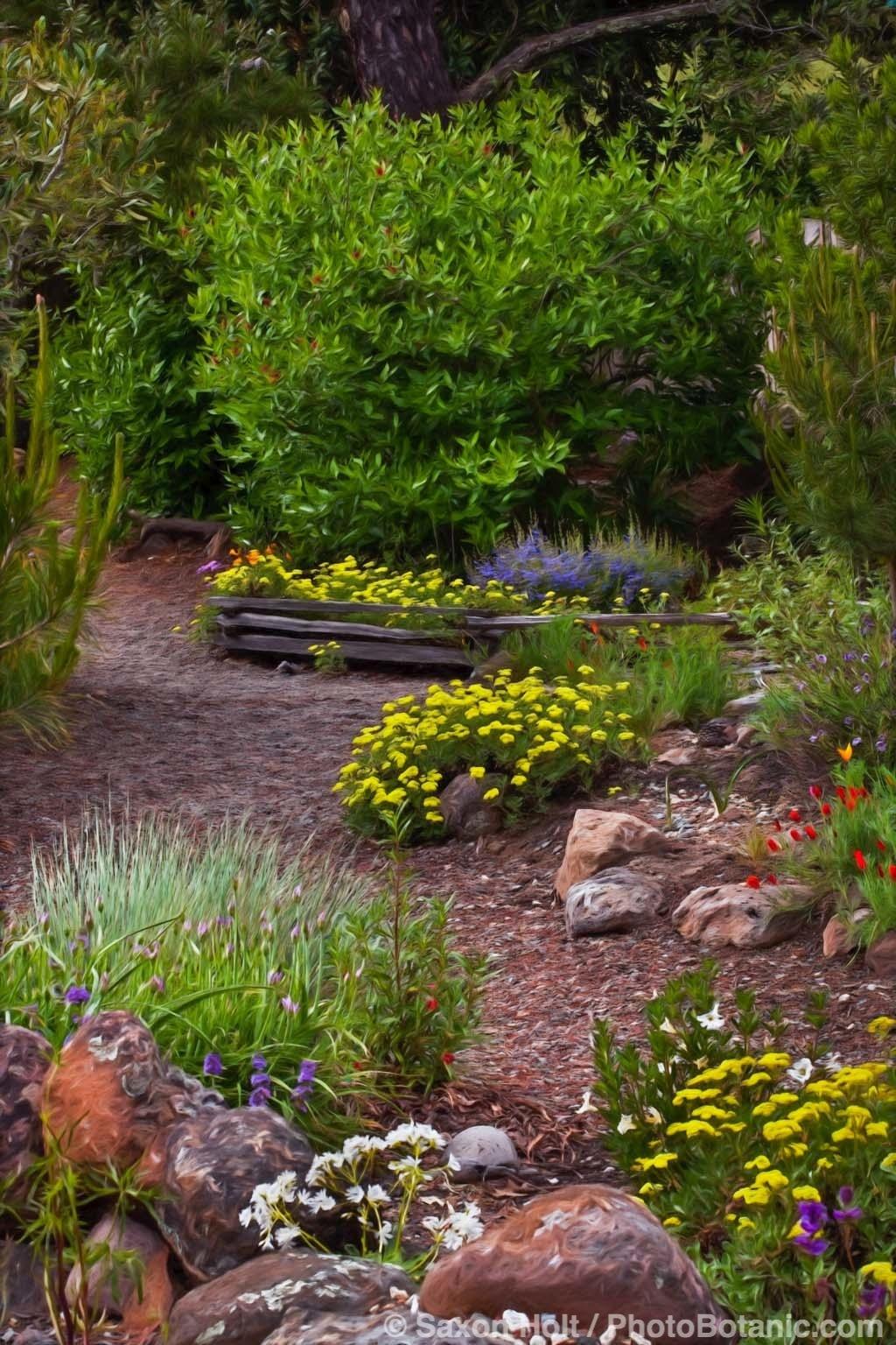 Sulpher Buckwheat Along Path in California Native Plant Garden