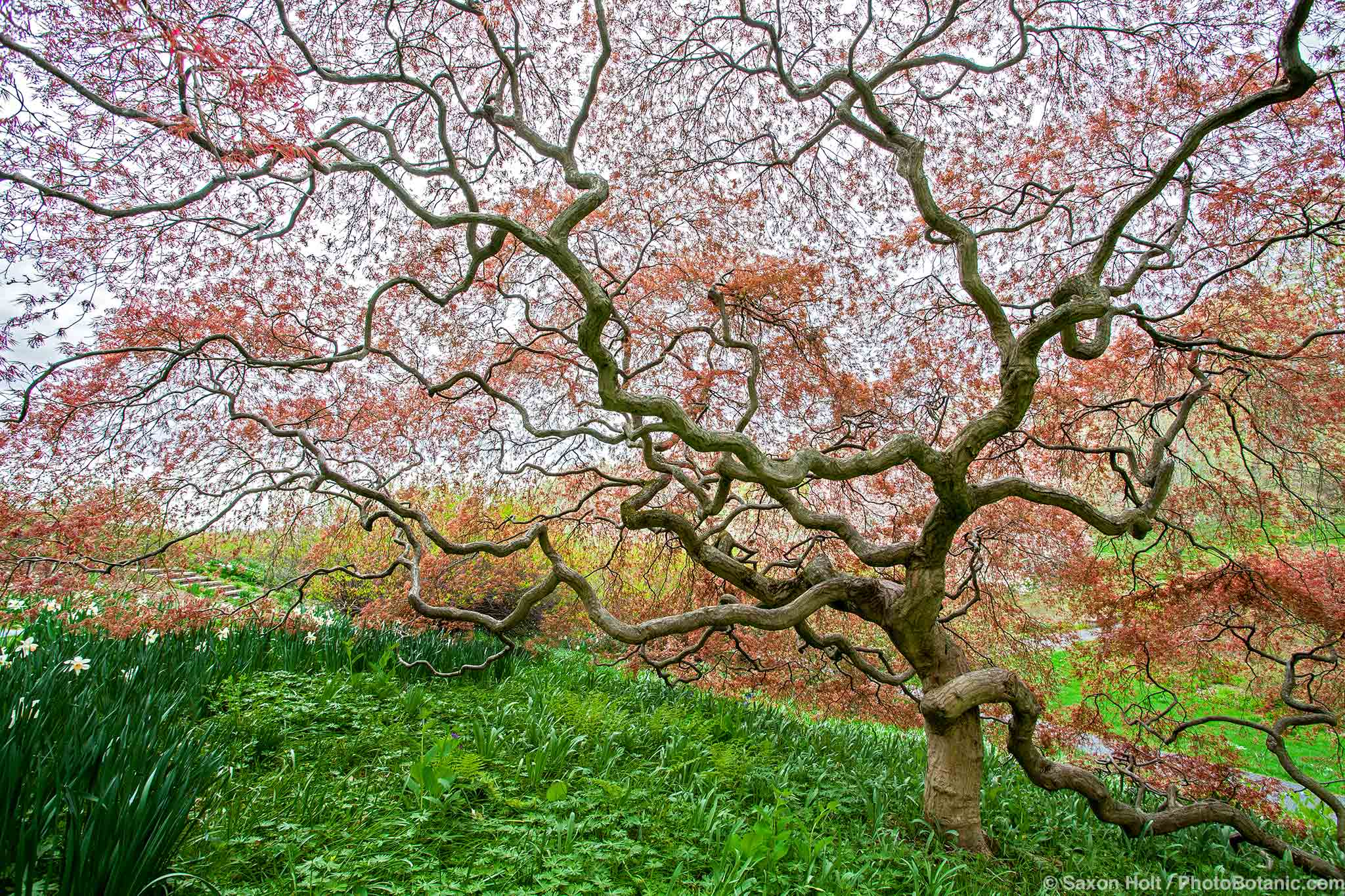 Acer palmatum dissectum atropurpureum, Red Cutleaf Japanese Maple tree, spring leaves unfolding, Winterthur Garden