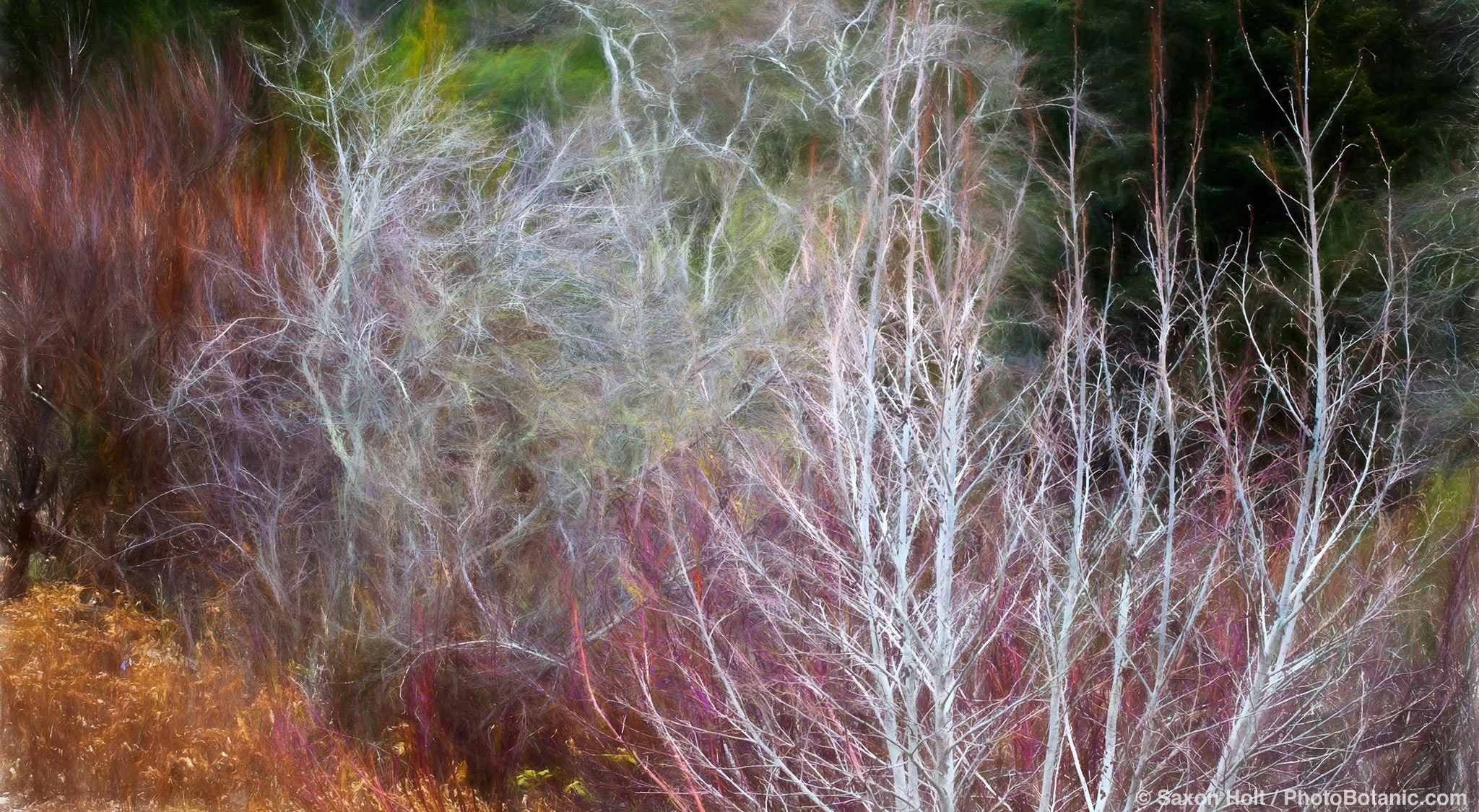 Alnus tenuifolia - Mountain Alder; California native deciduous small tree, bare branches in winter in shrub border with Cornus