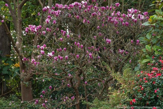 Magnolia soulangeana 'Picture', flowering dedicuous Saucer Magnolia tree in San Francisco Botanical Garden
