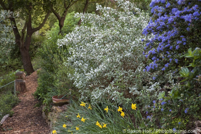 Shrub border with Ceanothus 'Julia Phelps' and silver foliage native plant Salt Bush (Atriplex lentiformis brewerii) in drought tolerant Southern California garden on hillside with oaks, daffodils and mulched path