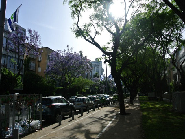 2016-04-30 01.13.15.jpg- Jacaranda Trees in bloom in Tel Aviv